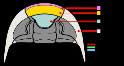 Trilobite cephalon ventral anatomy.png