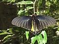 Troides minos - Sahyadri Birdwing - Aralam Butterfly Survey at Kottiyoor, 2019 (1).jpg