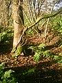 Trompetenbaum in Großefehn 2013-11-12.jpg