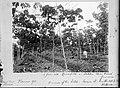 Tropenmuseum Royal Tropical Institute Objectnumber 10030615 Hevea rubberbomen op plantage Mon Tre.jpg