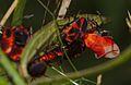 Tropidothorax leucopterus1.jpg