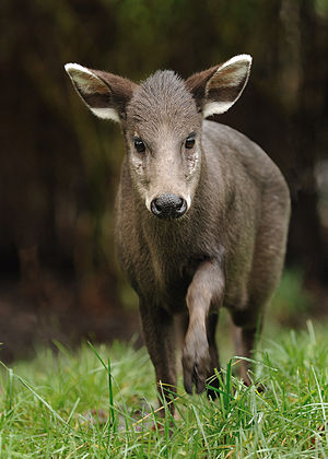 Tufted deer - Female tufted deer