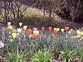 Tulips, McCaysville, Ga - panoramio.jpg