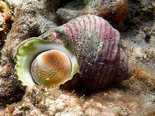 <i>Turbo argyrostomus</i> Species of gastropod