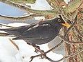 Turdus merula (40095570165).jpg