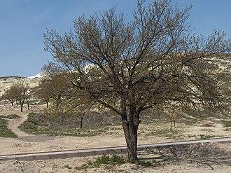 Prunus armeniaca - Apricot tree in central Cappadocia, Turkey