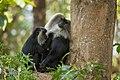 Uday Kiran Lion-tailed macaque Allogrooming-4.jpg