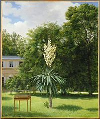 Yucca Gloriosa in Parc de Neuilly, 1844