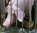 Undercover Investigation at Manitoba Pork Factory Farm (8251172448).jpg