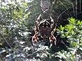 Underside of the Common Bark Spider (Caerostris sexcuspidata).jpg