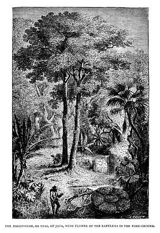 Antiaris - Upas Tree from an 1887 illustration