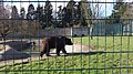 Ursus arctos -Camperdown Wildlife Centre, Dundee, Angus, Scotland-8a.jpg