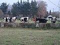 Vacas Damil, Begonte.jpg