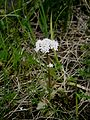 Valeriana dioica (male) 001.jpg