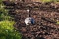 Valgepõsk-lagle - Barnacle goose - Branta leucopsis (4).jpg