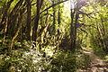 Vallon de la Fouge Mousses sur arbres.jpg