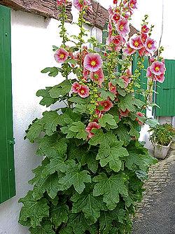 Roses trémières sur l'Île de Ré