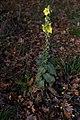 Verbascum (20141128).jpg