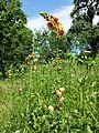 Verbascum blattaria × phoeniceum sl2.jpg
