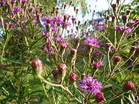 Vernonia-gigantea.jpg