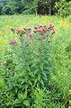 Vernonia fasciculata.jpg