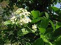 Viburnum sieboldii 1.JPG