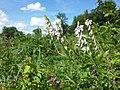 Vicia sylvatica sl18.jpg