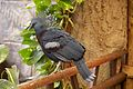 Victoria crowned pigeon in Chester Zoo 2.jpg