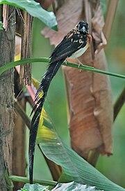 Vidua paradisaea-20081223.jpg