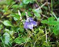 Viola bubanii21042005 fleur.JPG