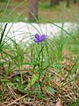 Viola tricolor Fiołek trójbarwny 2020-07-02 01.jpg