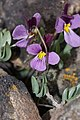Viola trinervata 7813.JPG
