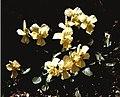 Viola ucriana02.jpg