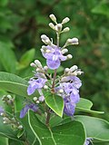 Vitex trifolia at Kavvaayi (5).jpg