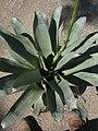 Vriesea nanuzae (TS) 2-02022.jpg