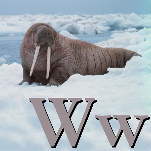 Файл:W is for Walrus.jpg
