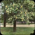 Washington, DC - Liriodendron (5168284662).jpg