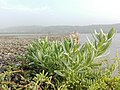 Water plant2352.jpg
