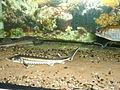 Waxdick (Acipenser gueldenstaedtii ).jpg