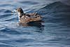 Wedge-tailed Shearwater 2395575851.jpg