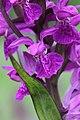 Western Marsh Orchid - Dactylorhiza majalis (18492339945).jpg