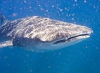 """""""whale shark"""" Underwater tourist sho..."""