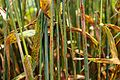 Wheat Stem Rust Disease (05410063) (9685492848).jpg