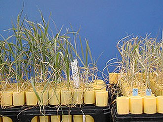 Plant breeding - The Yecoro wheat (right) cultivar is sensitive to salinity, plants resulting from a hybrid cross with cultivar W4910 (left) show greater tolerance to high salinity