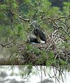 White-bellied Heron Ardea insignis nest by Dr. Raju Kasambe (3).jpg