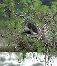 White-bellied Heron Ardea insignis nest by Dr. Raju Kasambe (3).jpg