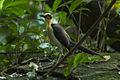 White-necked Rockfowl - Ghana S4E2922 (19493741601).jpg