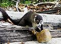 White-nosed Coati.jpg