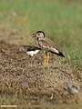 White-tailed Lapwing (Vanellus leucurus) & Red-wattled Lapwing (Vanellus indicus) (34089263204).jpg