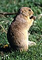 White-tailed prairie dog 1.jpg